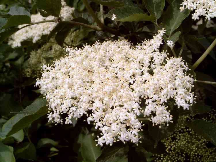 Blüte von Sambucus nigra im Juni. Quelle: wikimedia Commons.