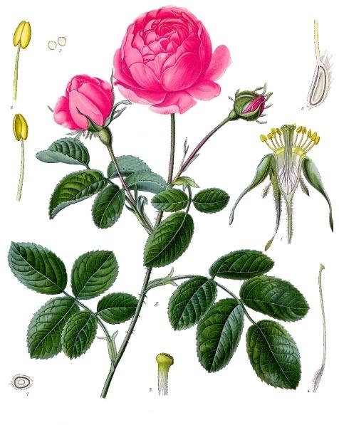 Rosa Centifolia, Köhlers Arzneipflanzen.