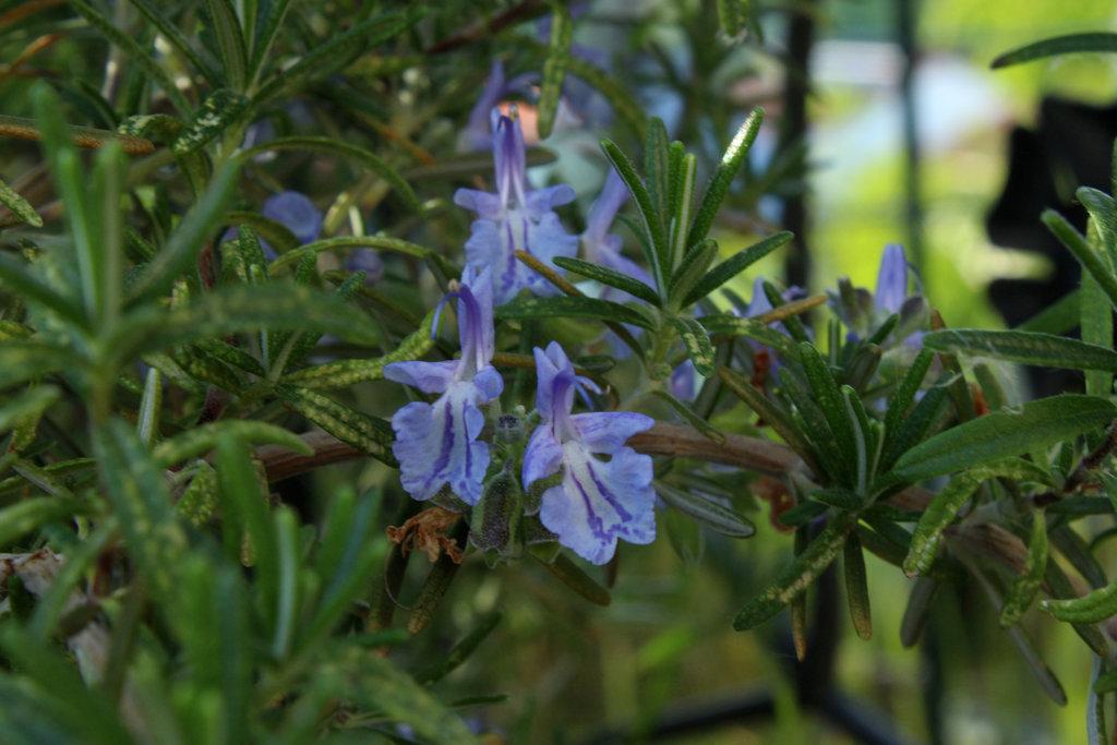 Rosmarin (hängende Form) mit schönen Blüten.