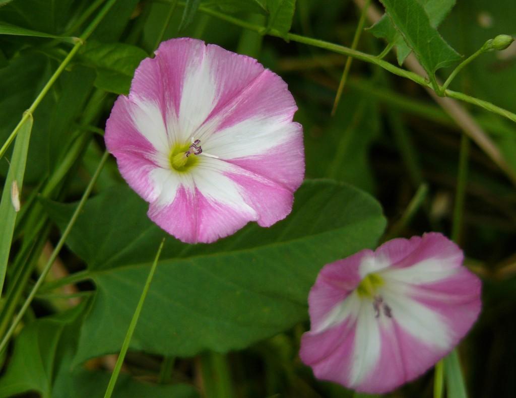 Einheimische Ackerwinde: Weiss-rosa Form.