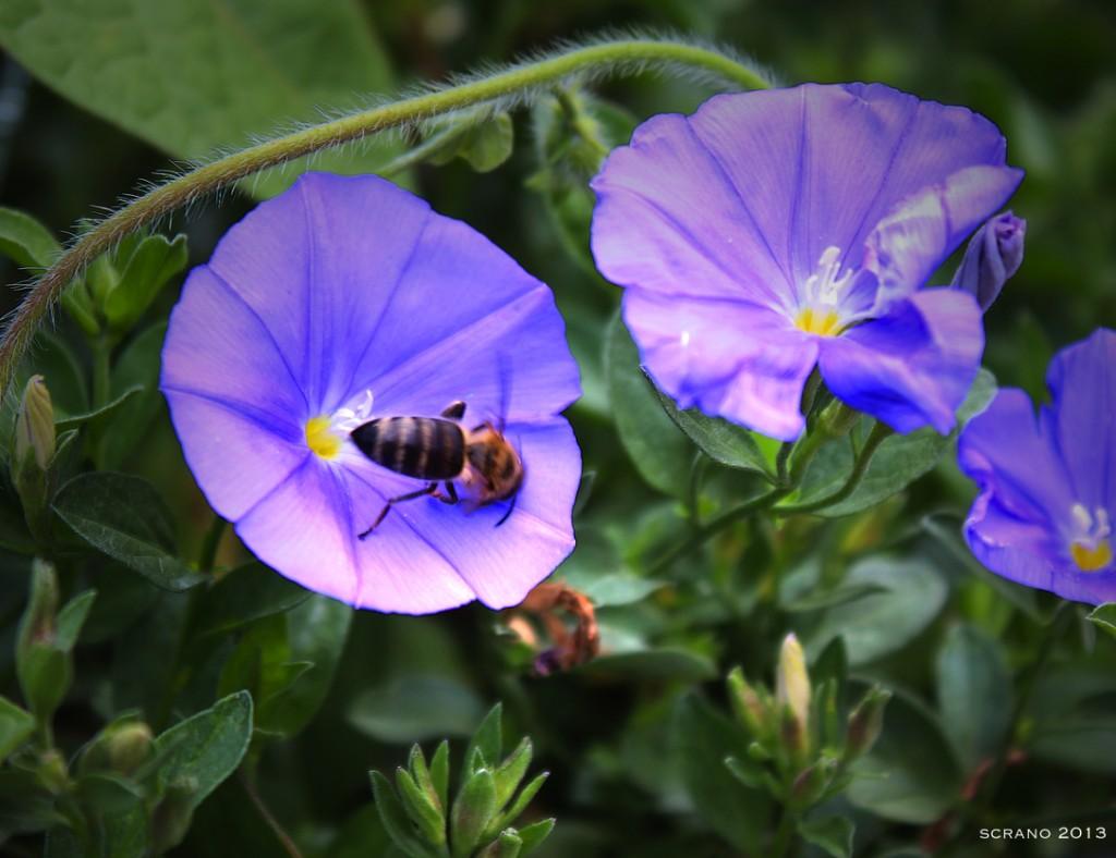Eine richtige Biene, allerdings mit Landeschwierigkeiten …