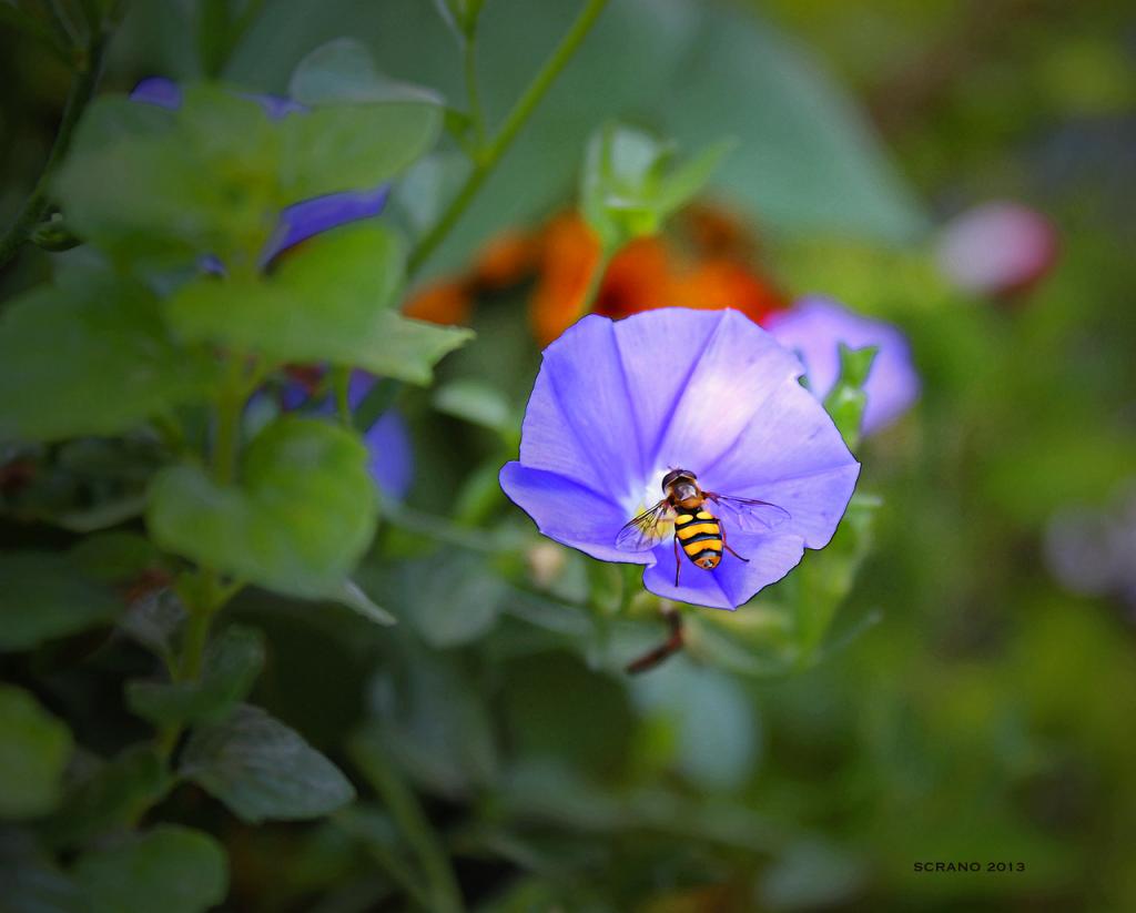 Wespe oder Biene?Nein, nur eine Schwebfliege !