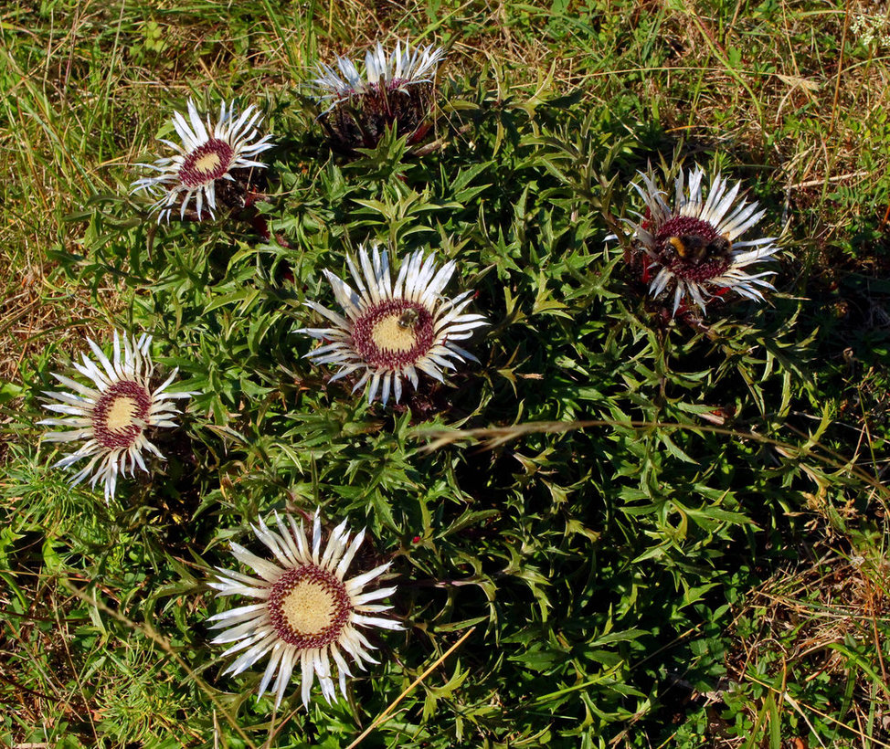 silver_thistle_cluster_by_scrano-d96xrlh