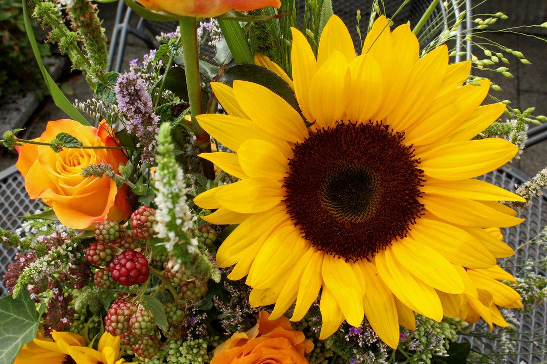 Letzer Gruss der Sommersonne: sonnenblumen im August und September