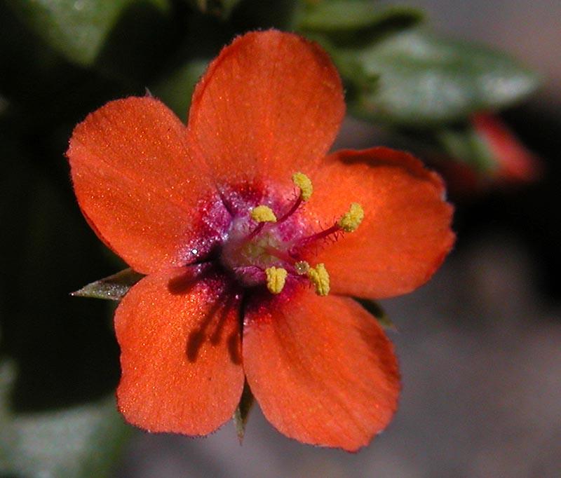 Ackergauchheil mit feuerroter Blüte.