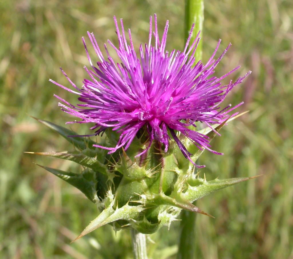 Mariendistel-Blüte: Silybum marianum