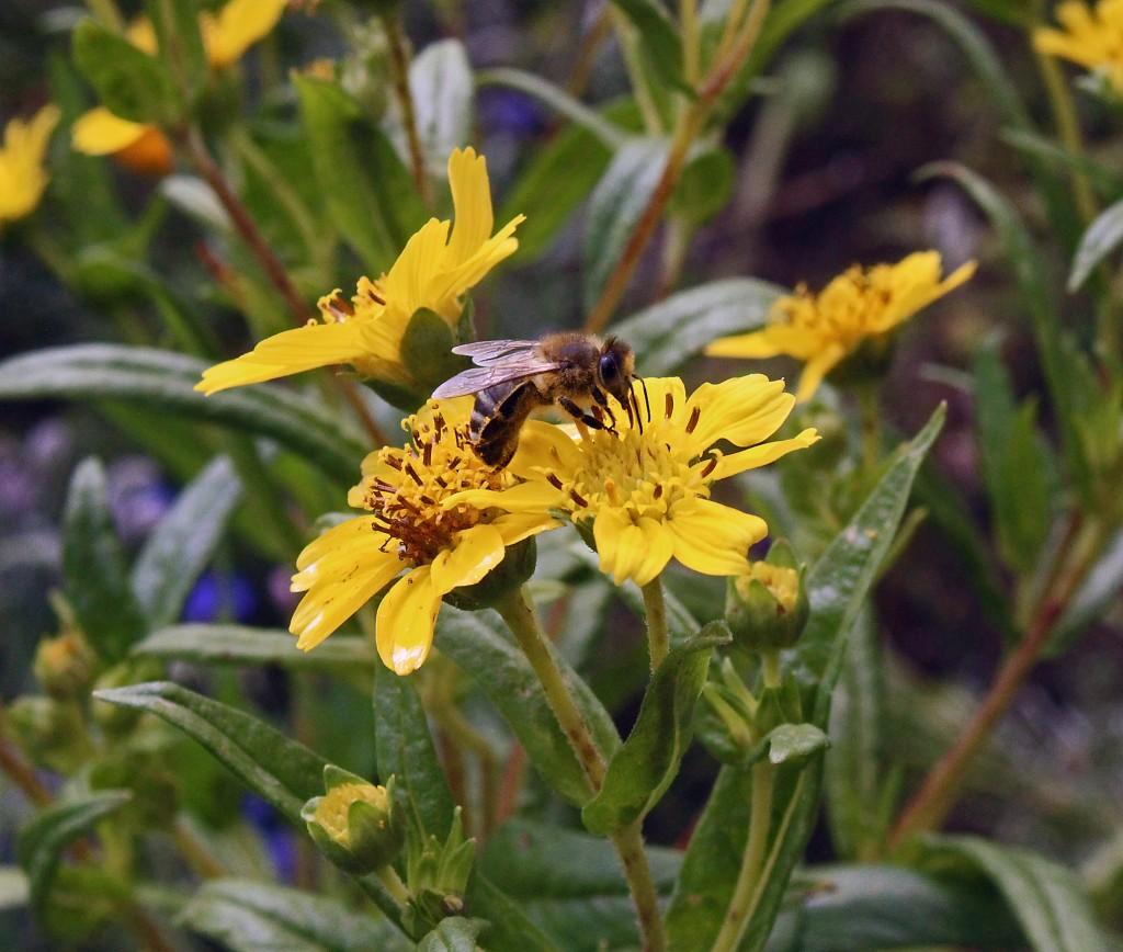 Biene nascht auf kleinköpfiger Sonnenblume.