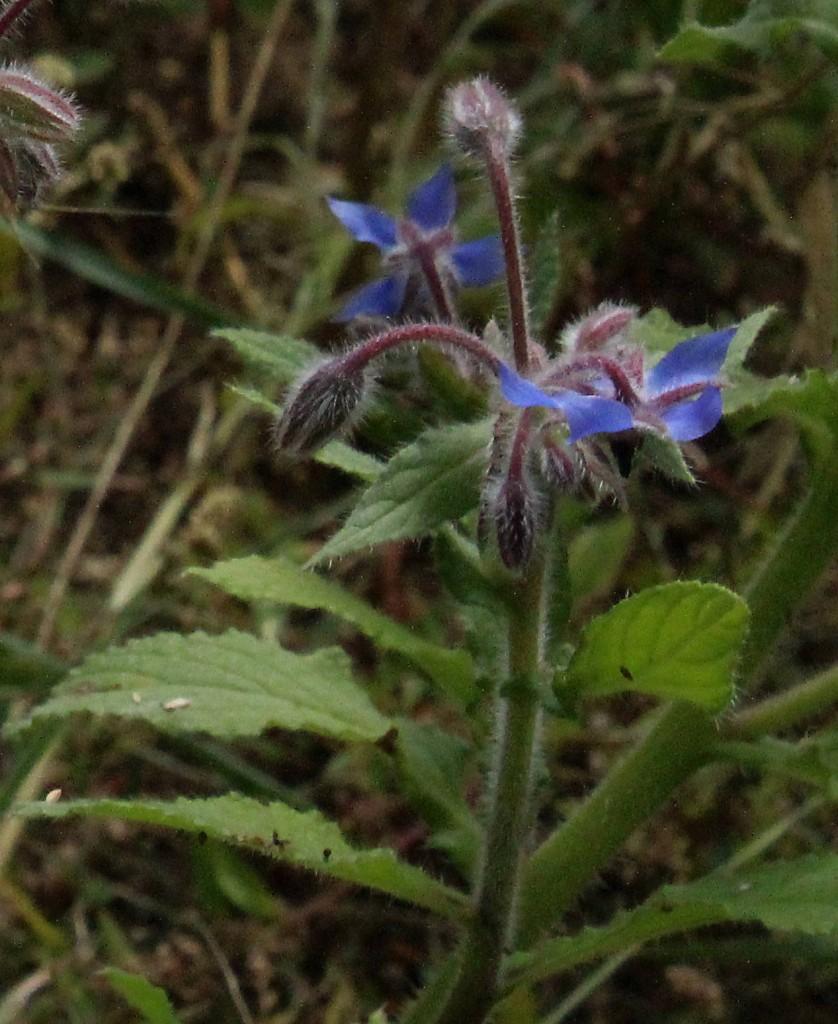 Borretsch zeigt das ganze Jahr über seine leckeren Blüten. Die jungen Blätter passen zu Gurken.