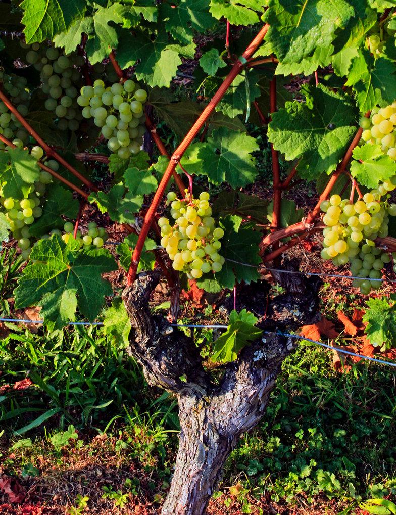 hohen_neuffener_wine_by_scrano-dai5go0