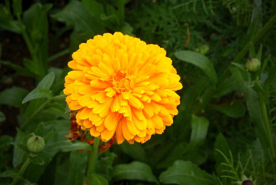 Calendula officinalis, Ringelblume - Marigold.©beast666