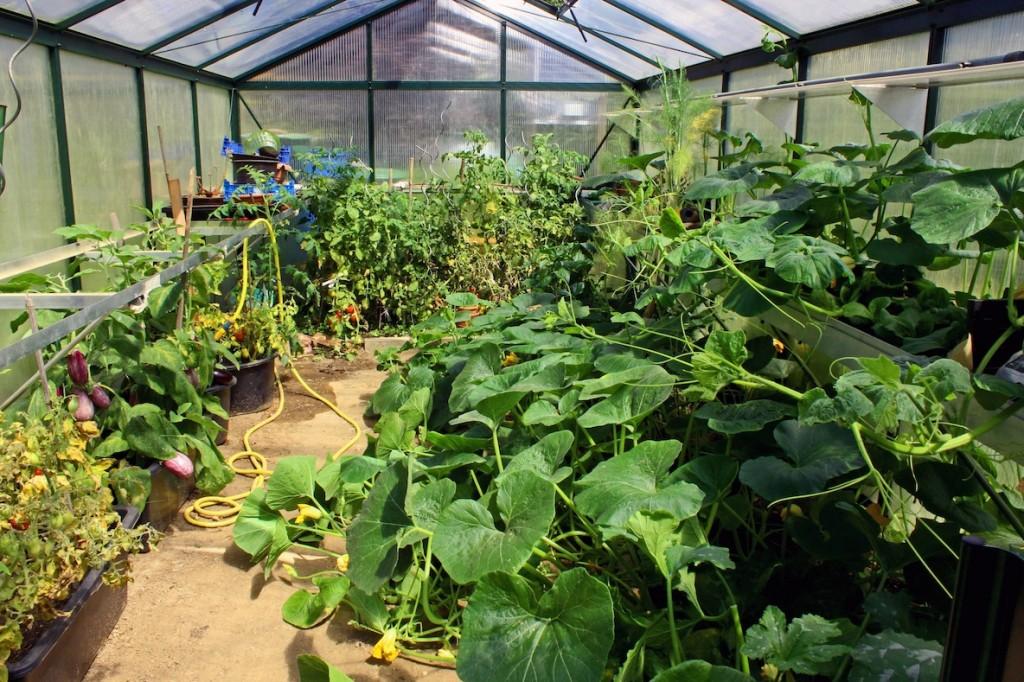 Gewächshaus im Herbst: Letzte Ernte von Tomaten, Paprika etc. Das grüne Ungeheuer ist ein Hokkaido-Kürbis.