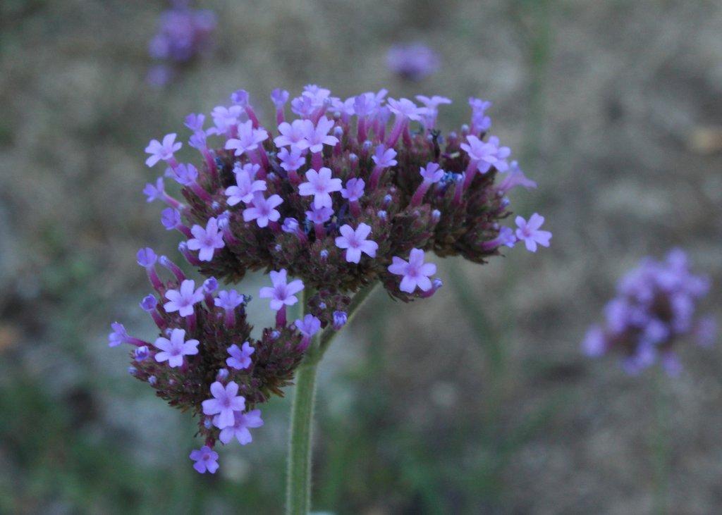 Vielbesungen: Blaue Blume der Romantik