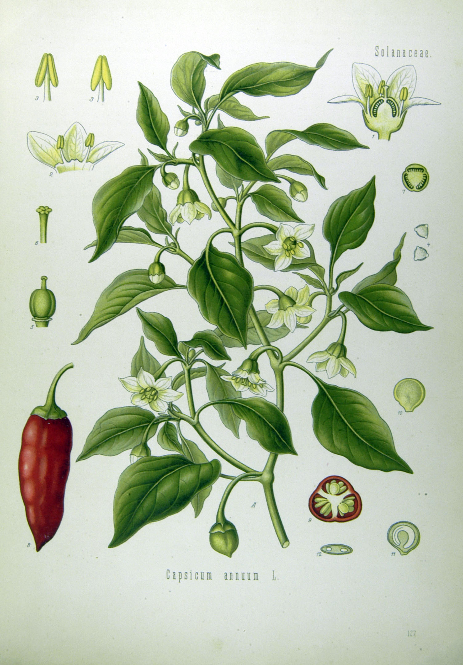 Aus Köhler's Medizinal-Pflanzen in naturgetreuen Abbildungen mit kurz erläuterndem Texte. (1887).