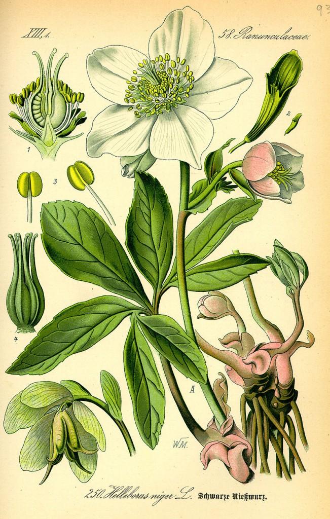 Helleborus niger: Typische Saturnpflanze, mit Rhizom und Winterblüte.