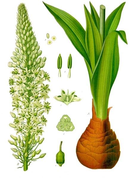 Meerzwiebel, Köhlers Arzneipflanzen ca. 1895
