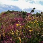Bretonische Heide