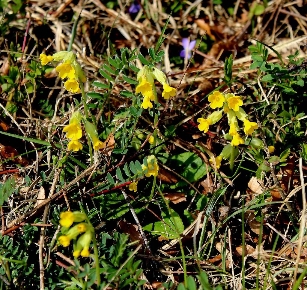 Primula veris: Himmelsschlüsel ©2016, abrasax