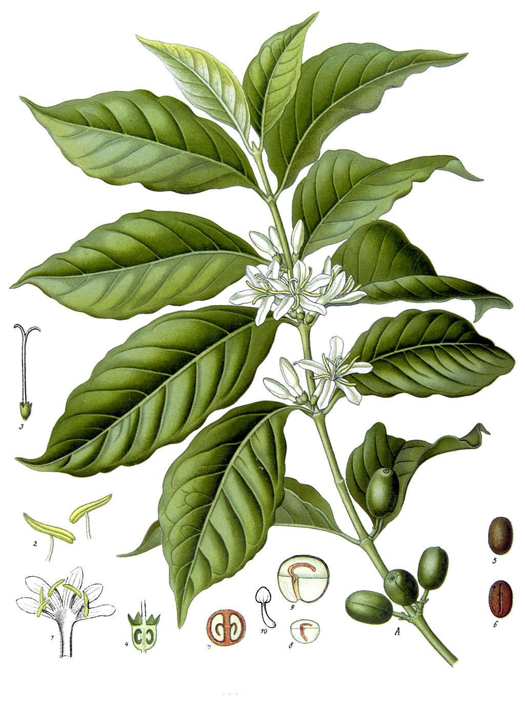 Coffea arabica Köhlers Heilpflanzenlexicon 1895