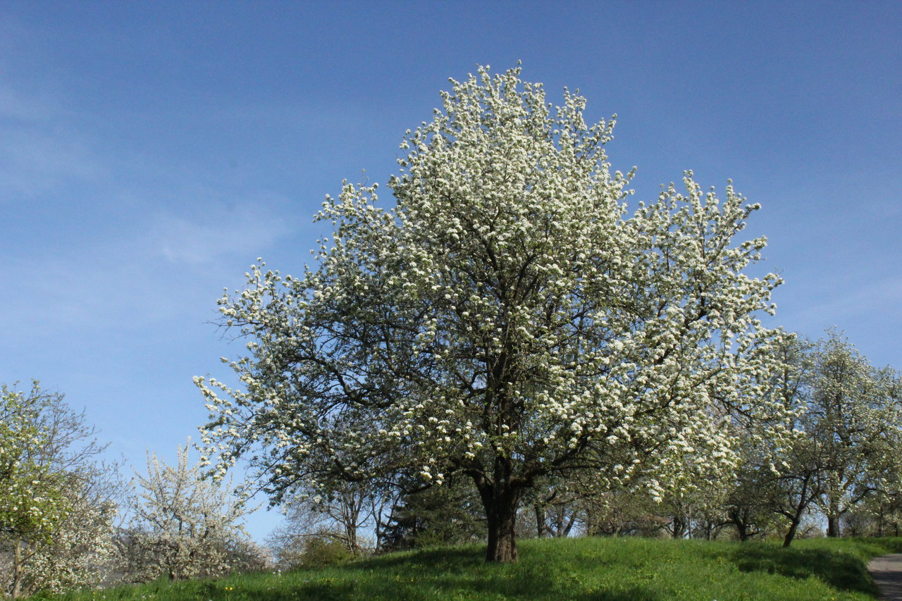 cherry_tree_by_scrano-da02xcg