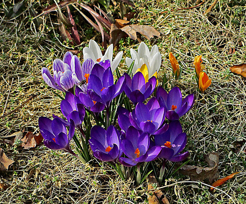 crocus_by_scrano-d93m502