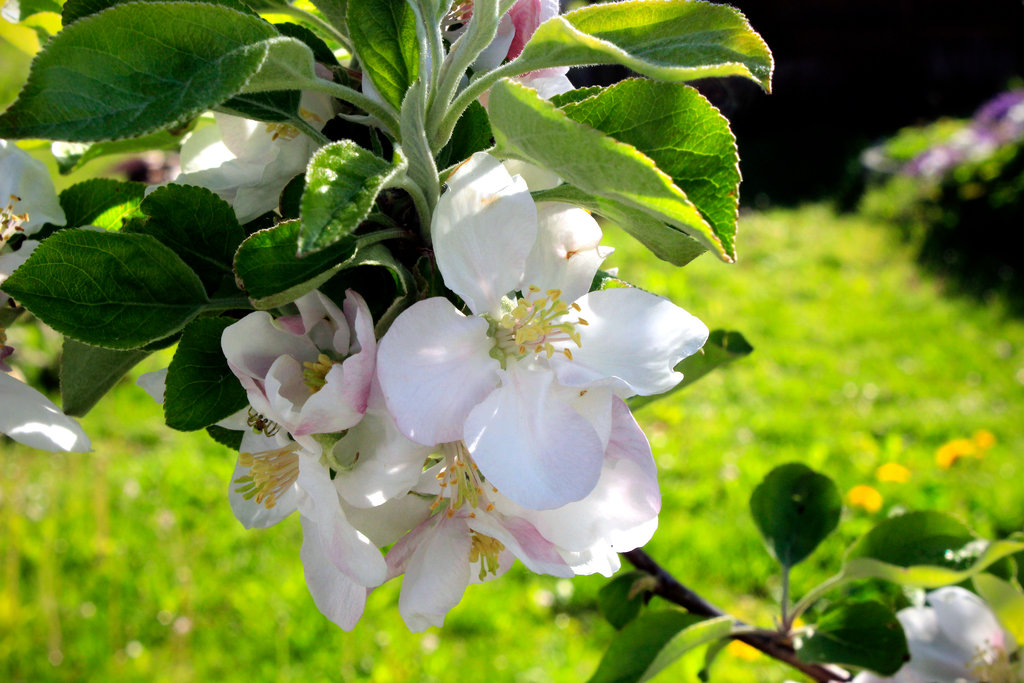 apple_blossoms_by_scrano-da232t8