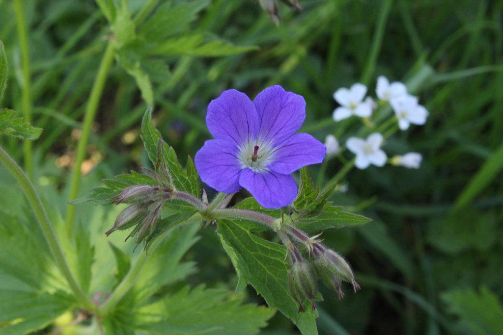 geranium_pratense_by_scrano-da02xdj