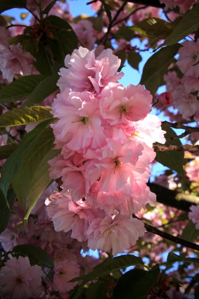Kirschblüten - ein vergänglicher Traum.©beast666 2016