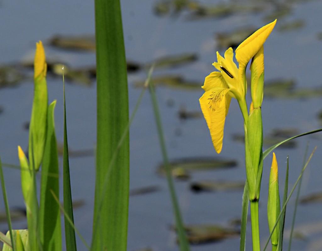 Gelbe Sumpfiris am Ufer.©beast666 2015