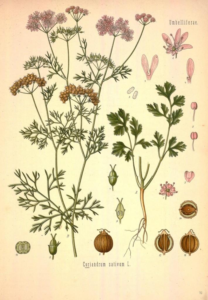 Coriandrum sativum aus Köhlers Pflanzenlexikon.Quelle:wiki