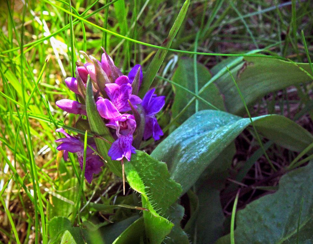 little_orchid__orchis_morio_by_scrano-da20j0a