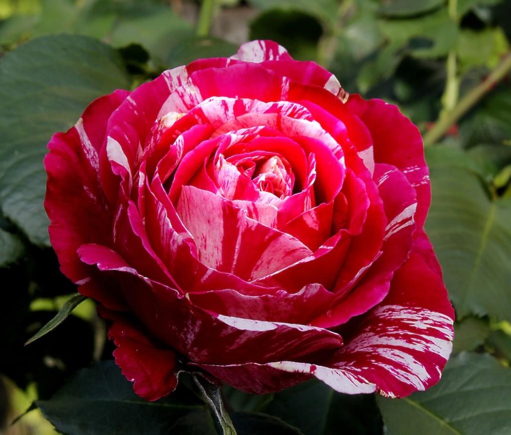 rosemawt Kopie