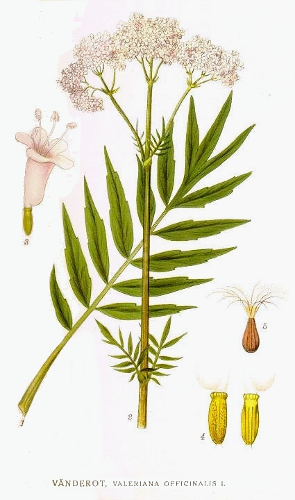 60_Valeriana_officinalis