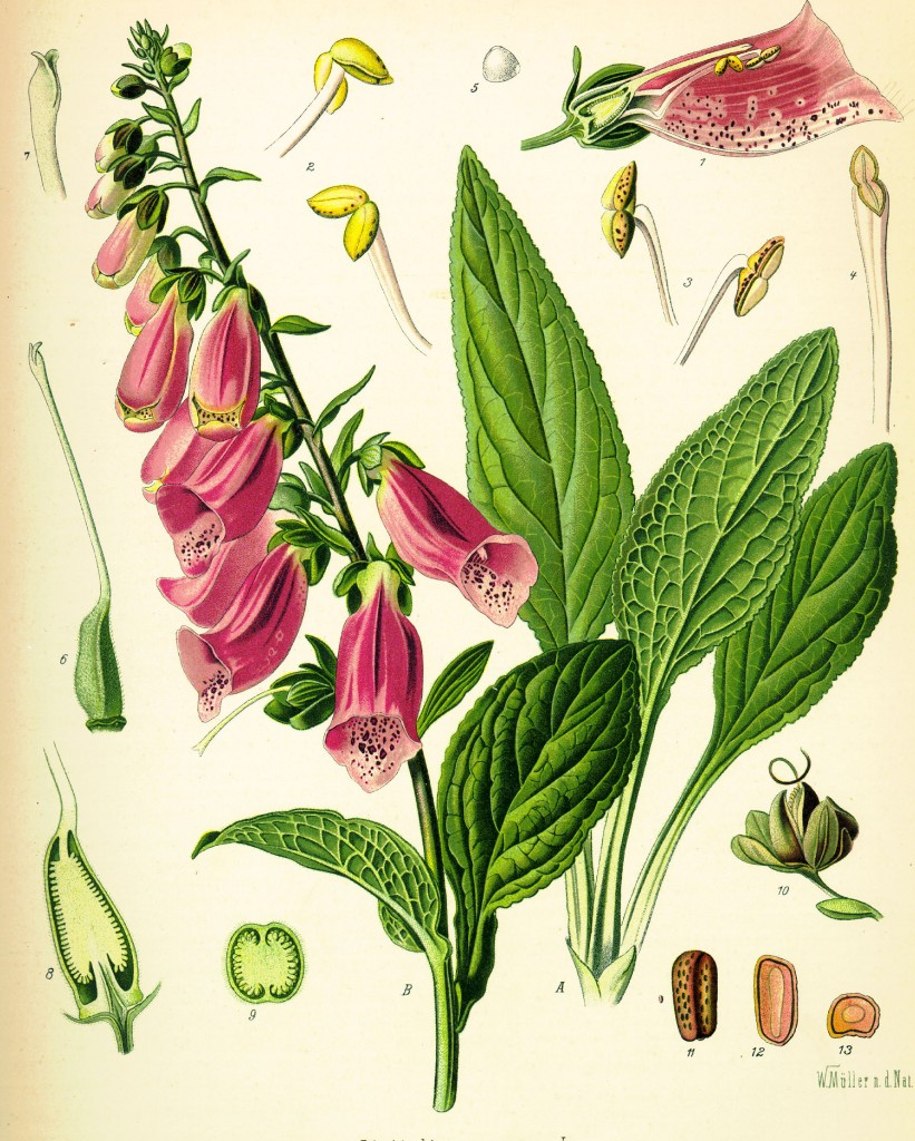 Digitalis_purpurea_Koehler_drawing