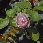 Generous Gardener Knospe