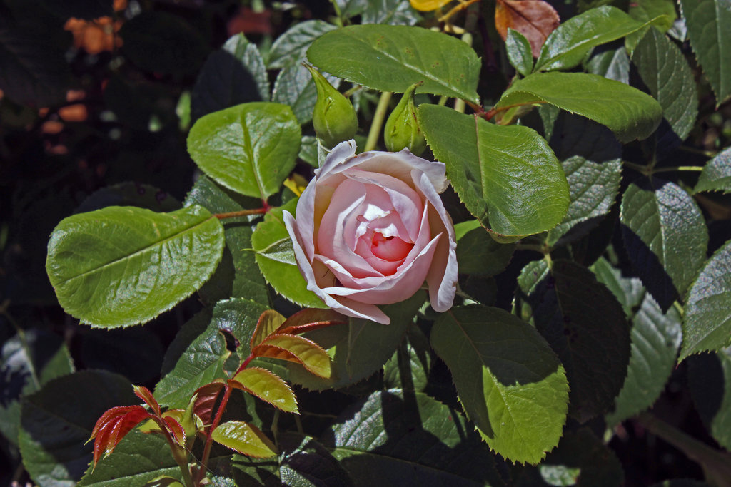 english_rose__the_generous_gardener_by_scrano-d934qgl