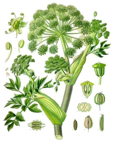 Angelica_archangelica_-_Köhler–s_Medizinal-Pflanzen-158
