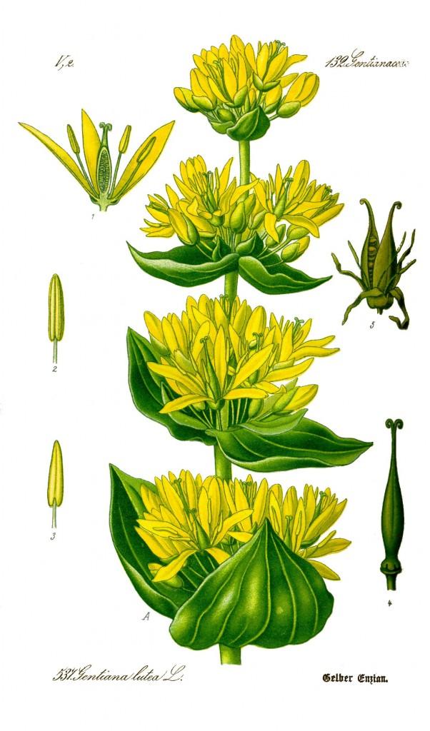 """Gentiana lutea - gelber Enzian. Merkur/Jupiter mit typischen """"Wegerichblättern""""."""
