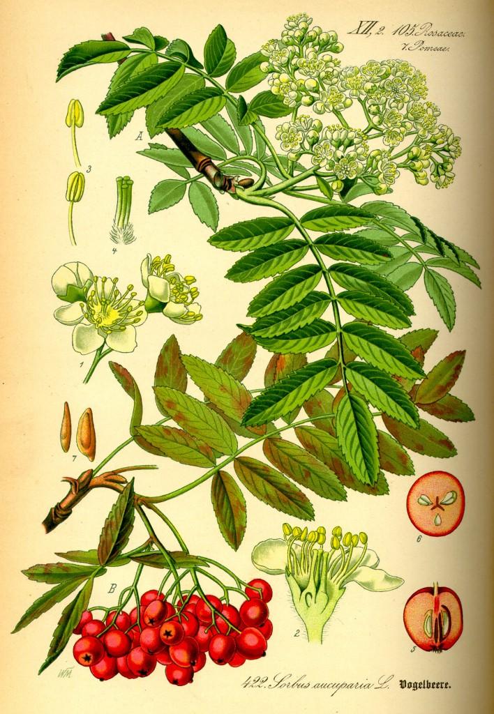 Eberesche mit Blüte und Fruchtstand. quelle:wiki.