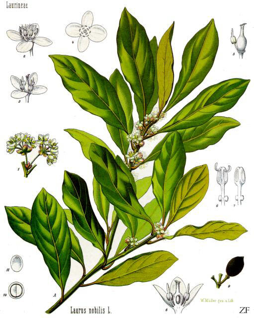 Laurus_nobilis_-_Köhler–s_Medizinal-Pflanzen-086
