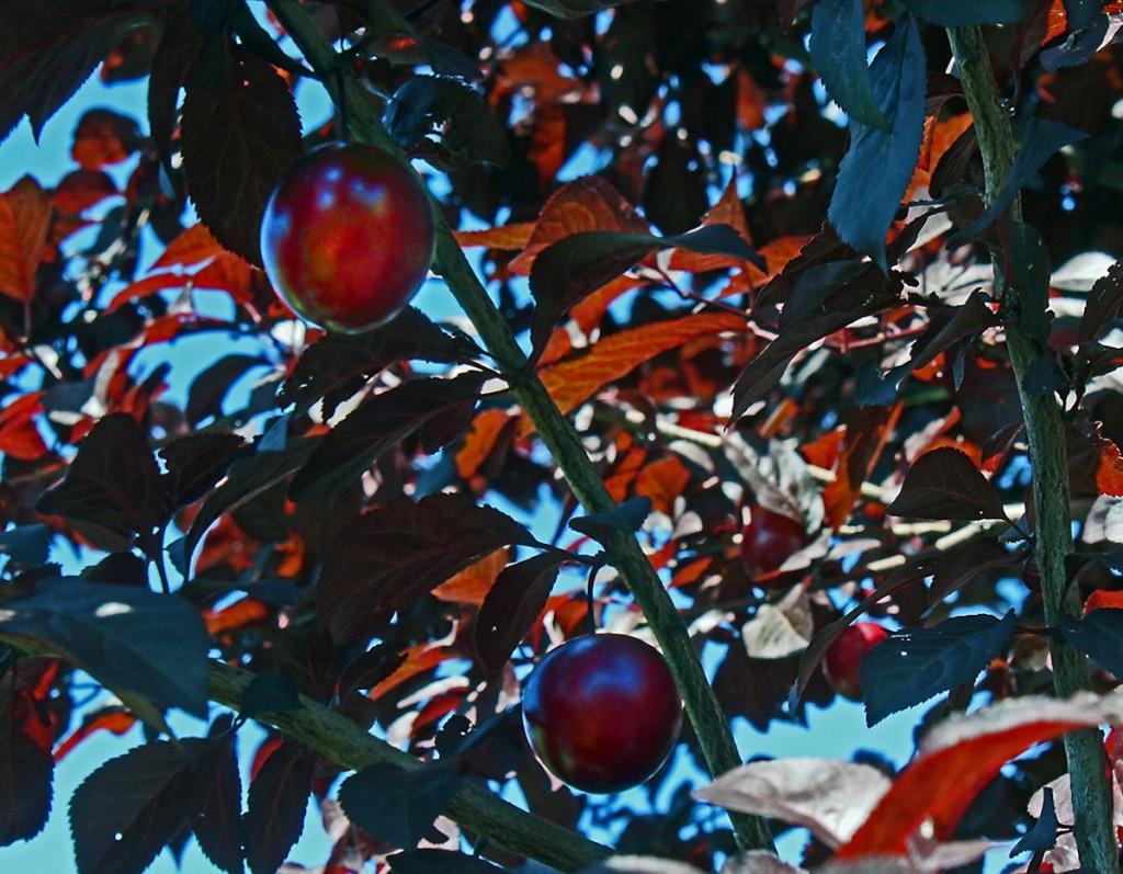 Blutpflaumen sind nicht nur eine optische Zierde - ihre Früchte sind essbar.