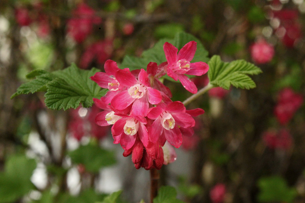 ribes_sanguineum_by_scrano-d9zhtdc