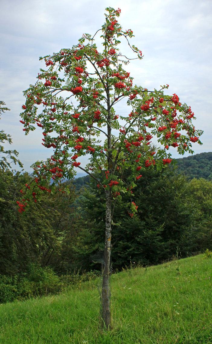 Zauberbaum der Alten: Eberesche. Baum von Odin und Thor.