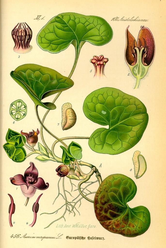 Haselwurz - Asarum europaeum.quelle:wiki
