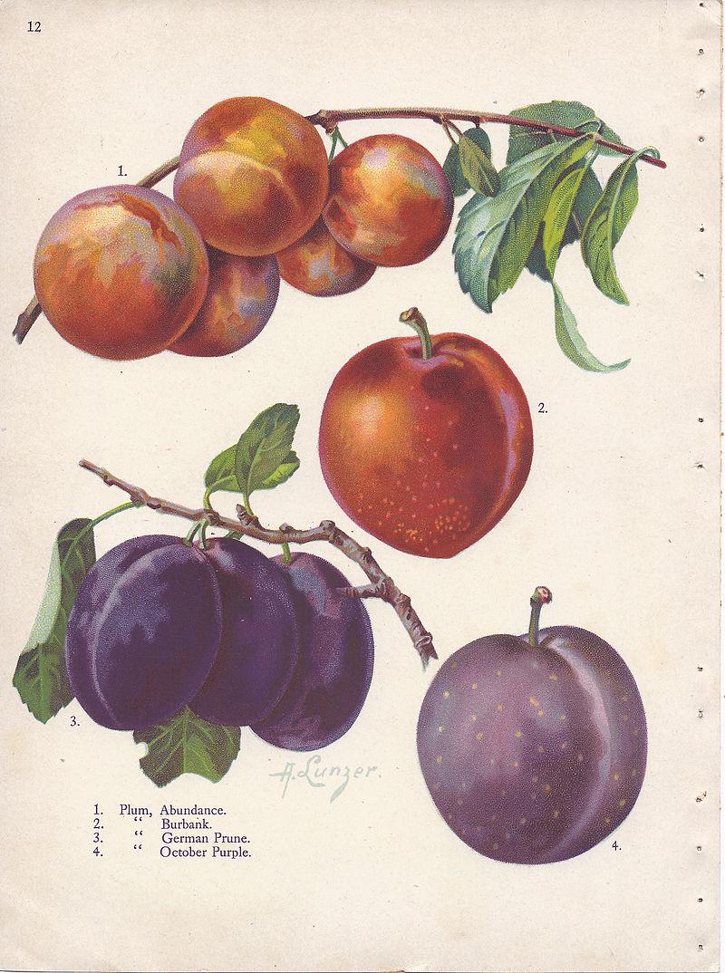 Page_12_plum_-_Abundance,_Burbank,_German_Prune,_October_Purple