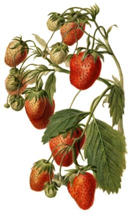 Erdbeeren - Monatserdebeere.