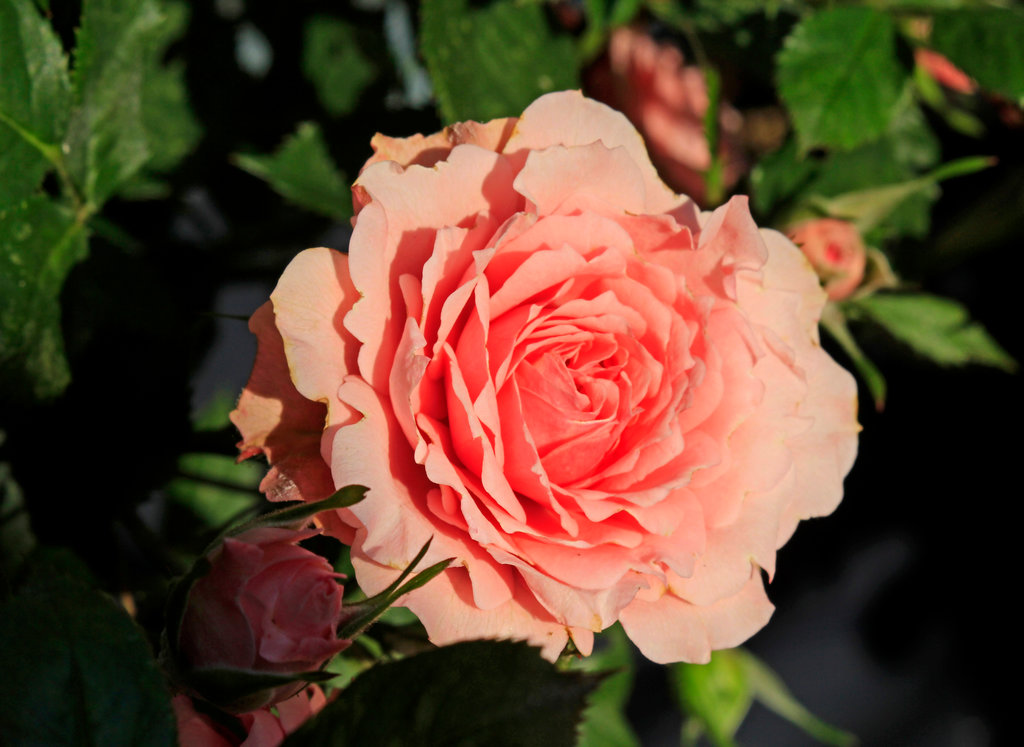 Symbolblume der Venus - die Rose. Hier gleich in der Farbe der Waage: Rosa. Nostalgia III ©beast666 2015