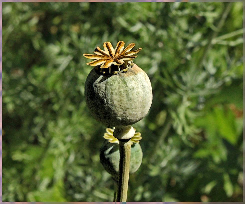 opium_poppy_by_scrano-d934q4t