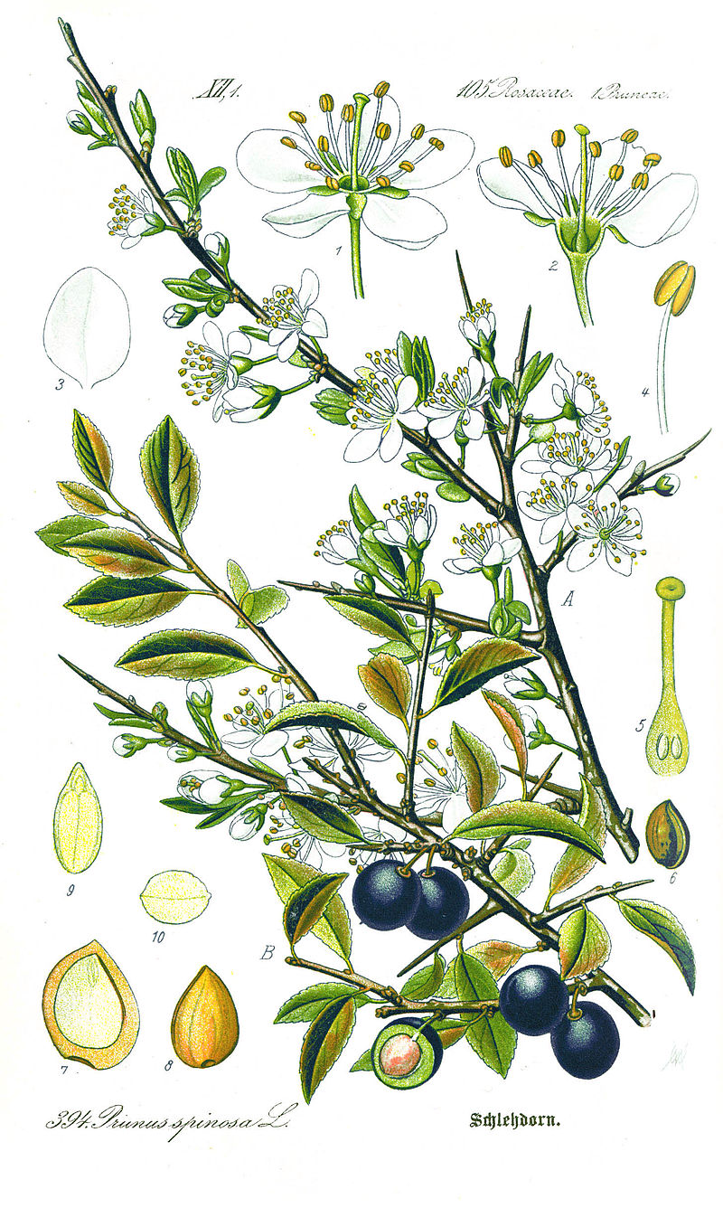 800px-Illustration_Prunus_spinosa1