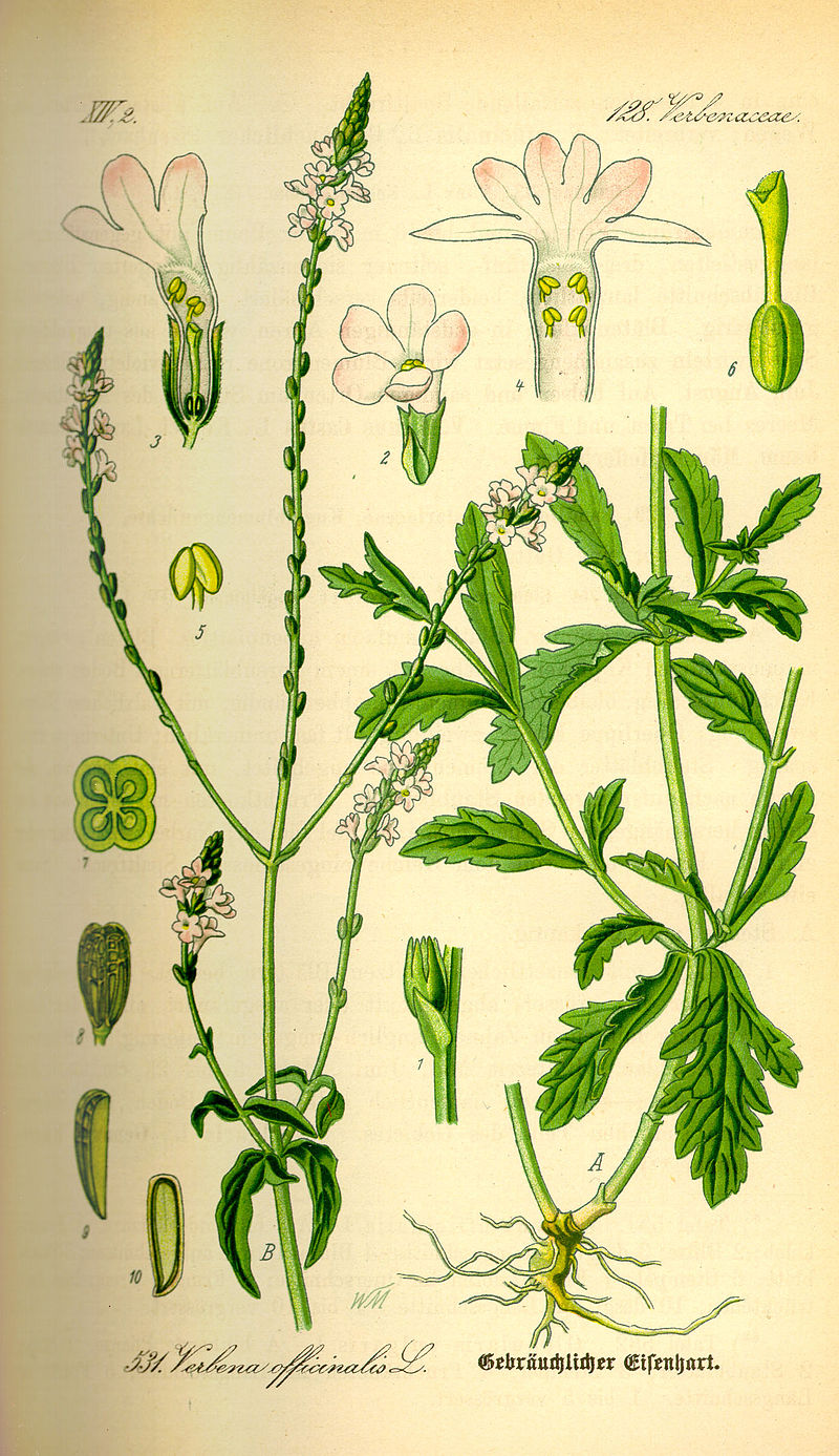 800px-Illustration_Verbena_officinalis0