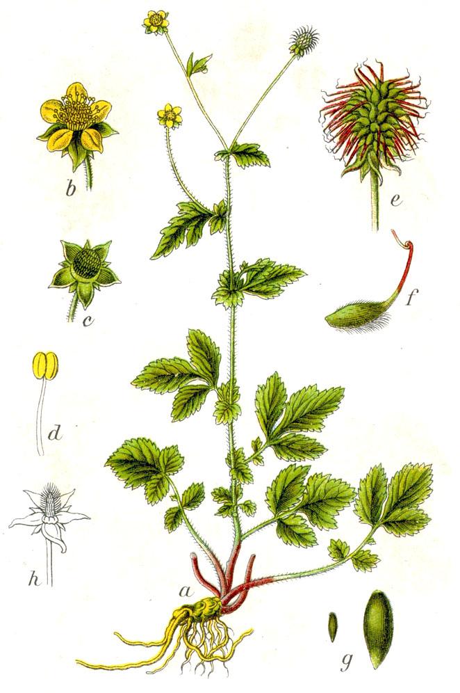 Nelkenwurz - ein Rosengewächs. Jakob Sturm 1796.